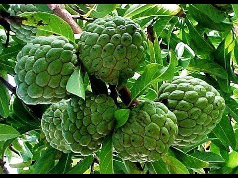 ஆரோக்கியம்(சீத்தாப்பழம்(கஸ்டார்ட் ஆப்பிள்)