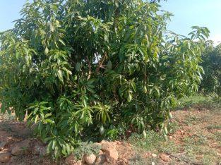 Mango Farm – Harur